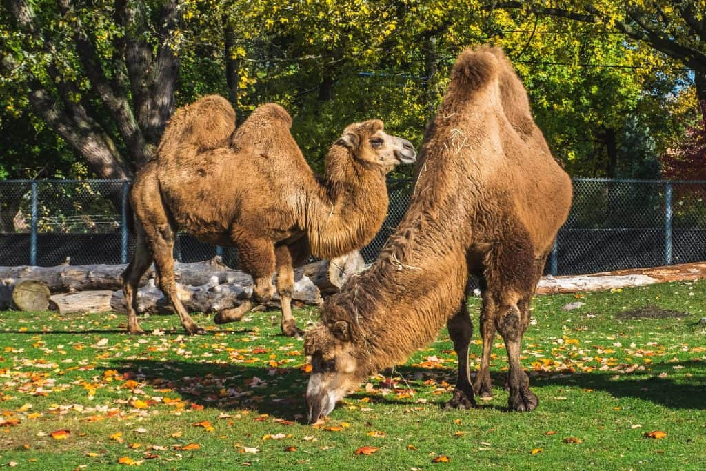 Camels in Detroit ZOO